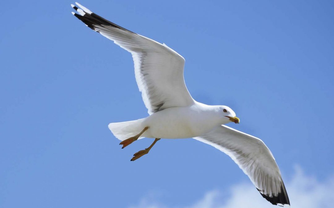 Jonathon Livingston Seagull*, alive and well and in top form at Padstow harbour